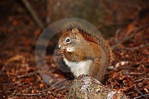 Munching Squirrel Royalty Free Stock Image - Image: 19037396