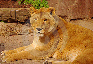 Lion Female Is Lying In Rest In Heidelberg Zoo Royalty Free Stock Photography - Image: 19037817