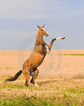 Bay Akhal-teke Stallion On The Field Royalty Free Stock Photos - Image: 19037938