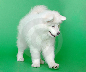 Samoyed Dog Stock Images - Image: 19041824