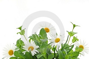 Fresh Mint Leaves With Daisy Royalty Free Stock Image - Image: 19050666