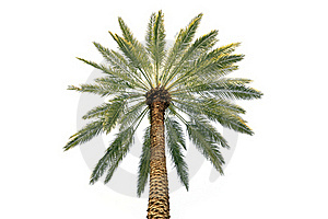 Palm Tree Crone Royalty Free Stock Images - Image: 19063189