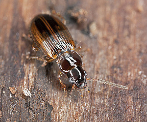 Ground Beetle Sitting On Wood Royalty Free Stock Photos - Image: 19063878