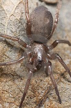 Araña De Tierra Cautelosa (Gnaphosidae) Imagen de archivo libre de regalías - Imagen: 19064186