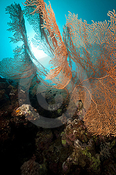Seafan And Underwater Scenery In The Red Sea. Stock Photo - Image: 19064470