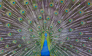 Peacock Showing Off Stock Photos - Image: 19065583