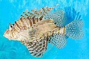Lionfish Royalty Free Stock Photo - Image: 19066855