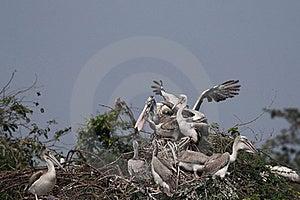 Spot Billed Pelican Stock Photo - Image: 19067050