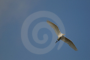 Egret Royalty Free Stock Images - Image: 19067159