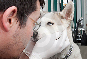 Husky puppy at vet Stock Photo
