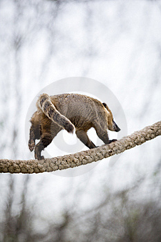 Very Cute White-nosed Coati Stock Photography - Image: 19073732