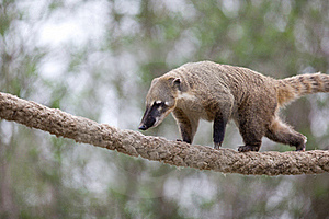 Very Cute White-nosed Coati Stock Images - Image: 19073754