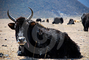 The Cattle Royalty Free Stock Photos - Image: 19078088