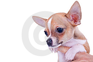 Chihuahua Small Puppy Royalty Free Stock Images - Image: 19078159