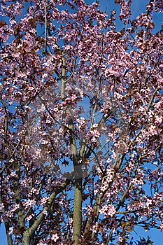 Pink Blossom Royalty Free Stock Photography - Image: 19087047