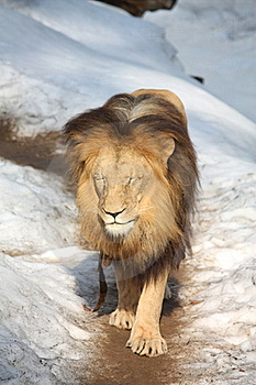 Lion Walking In Snow Stock Photography - Image: 19089332