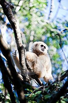 Gibbon Royalty Free Stock Photos - Image: 19091148
