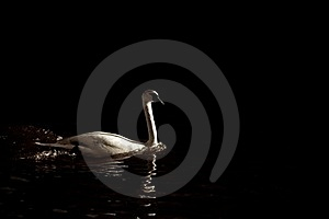 Swan Stock Images - Image: 19092774