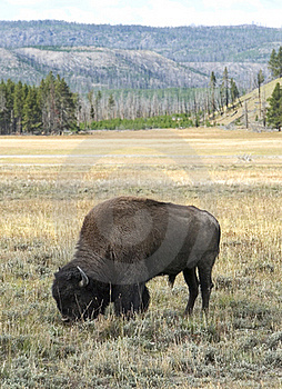 Grazing Bison Stock Photography - Image: 19092862
