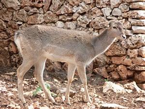 Deer Walking Royalty Free Stock Photo - Image: 1913115