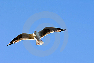 Seagull Soaring Royalty Free Stock Photography - Image: 1913727