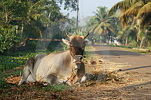 Portrait Of The Sacred Cows Stock Image - Image: 19102951