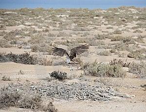 Osprey Flying Over Bushes Stock Photo - Image: 19104430