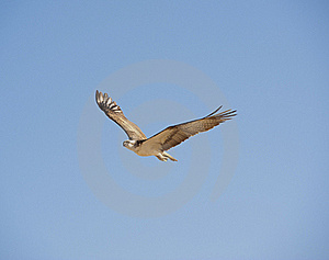 Large Osprey In Flight Royalty Free Stock Photo - Image: 19104635