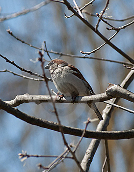 Male House Sparrow Stock Photography - Image: 19110162