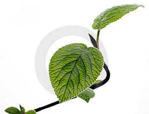 Young Leaves Royalty Free Stock Photography - Image: 19119347