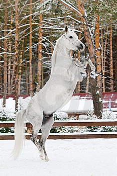 White Arabian Stallion Portrait In Winter Royalty Free Stock Photo - Image: 19119815