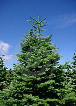 De Bomen Van De Pijnboom Royalty-vrije Stock Afbeelding - Afbeelding: 19120986