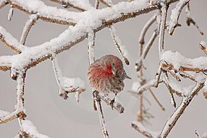Purple Finch Royalty Free Stock Image - Image: 19122526
