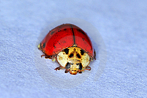 Ladybug Royalty Free Stock Images - Image: 19127509