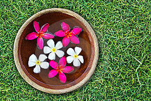 Colorful Plumeria Flower Royalty Free Stock Image - Image: 19130066