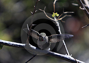 Rufous Hummingbird Royalty Free Stock Images - Image: 19133149