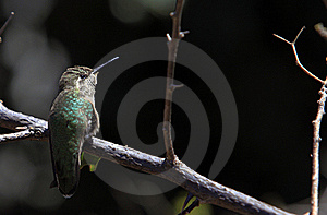 Rufous Hummingbird Royalty Free Stock Photo - Image: 19133155