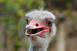 Ostrich Head Stock Images - Image: 19137864