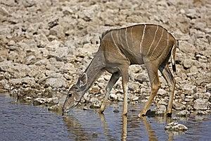 Greater Kudu Female At Waterhole Royalty Free Stock Photo - Image: 19139115