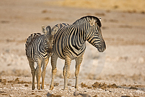 Mother And Baby Zebra Standing In Field Royalty Free Stock Photography - Image: 19139957