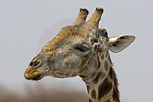 Close-up Of Giraffe Head Royalty Free Stock Photography - Image: 19140167