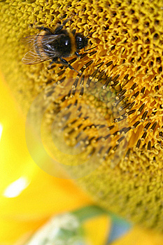 Bee Sunflower Royalty Free Stock Photography - Image: 19146217