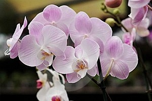 Delicate Pink Orchid Flowers Stock Images - Image: 19146354