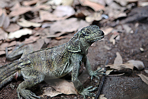 Lizard Royalty Free Stock Image - Image: 19162536