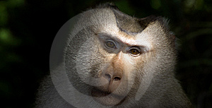 Monkey Staring Stock Photography - Image: 19166012