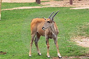 Young Gazelle Royalty Free Stock Photography - Image: 19168047