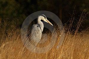 Grey Heron Stock Photo - Image: 19177090