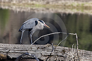 Heron Walks On Log. Royalty Free Stock Photo - Image: 19180375