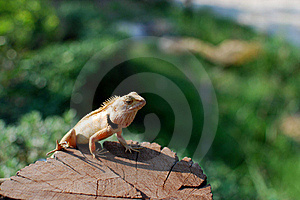 The Sunbathe Chameleon Stock Photos - Image: 19186613
