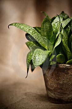 Green Home Plant  In Flower Pot Royalty Free Stock Photos - Image: 19189688